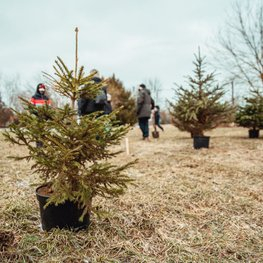 Sustainable Holidays – Planting a Christmas Tree Forest
